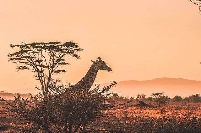 jirafas en safari