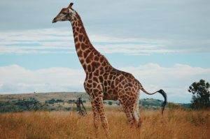 Jirafas en un safari de lujo en África