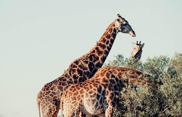 jirafas en el kruger