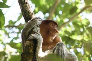 Mono narigudo subido a las ramas de un árbol