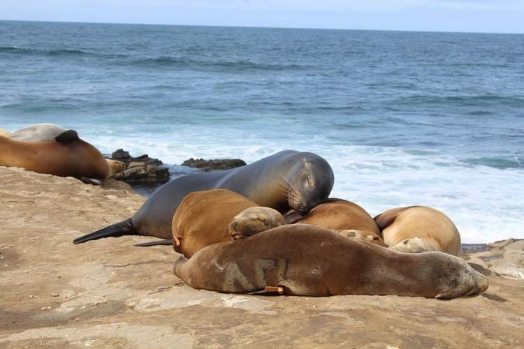 Leones marinos en La Jolla Shore