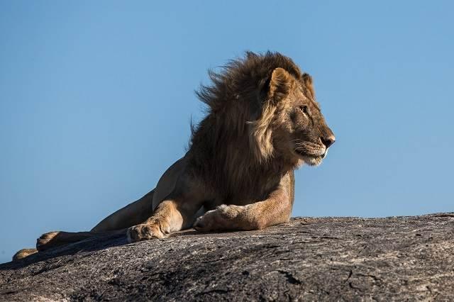 León en una colina de Tanzania