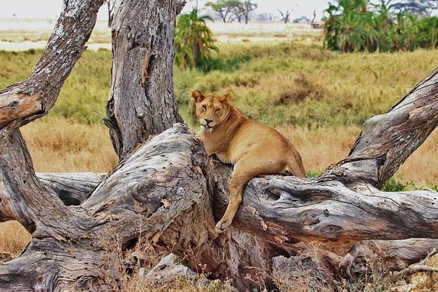 león en árbol