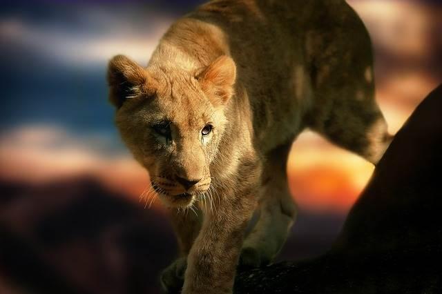 león pequeño en una roca