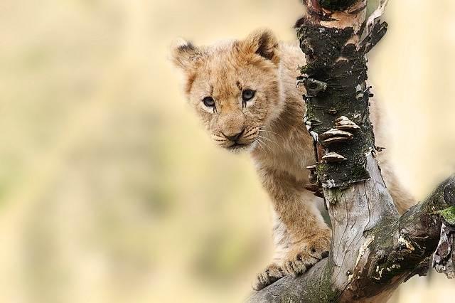 León en un árbol