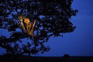 León subido a un árbol en un safari