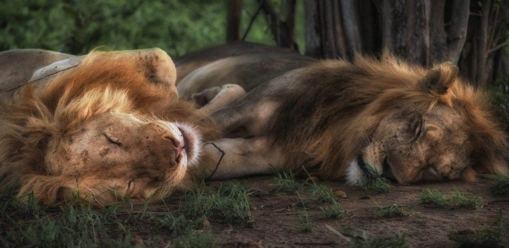 leones durmiendo