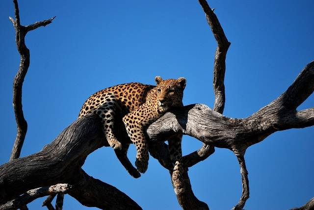 leopardo en un árbol