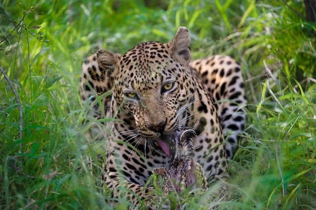 leopardo en safari en sudáfrica