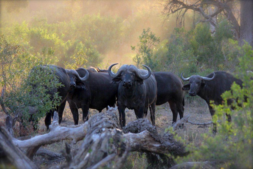 manda de bufalos