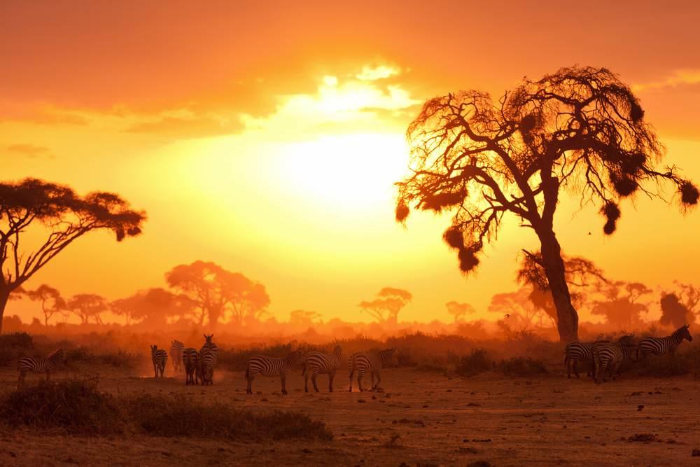 cebras al atardecer en safari