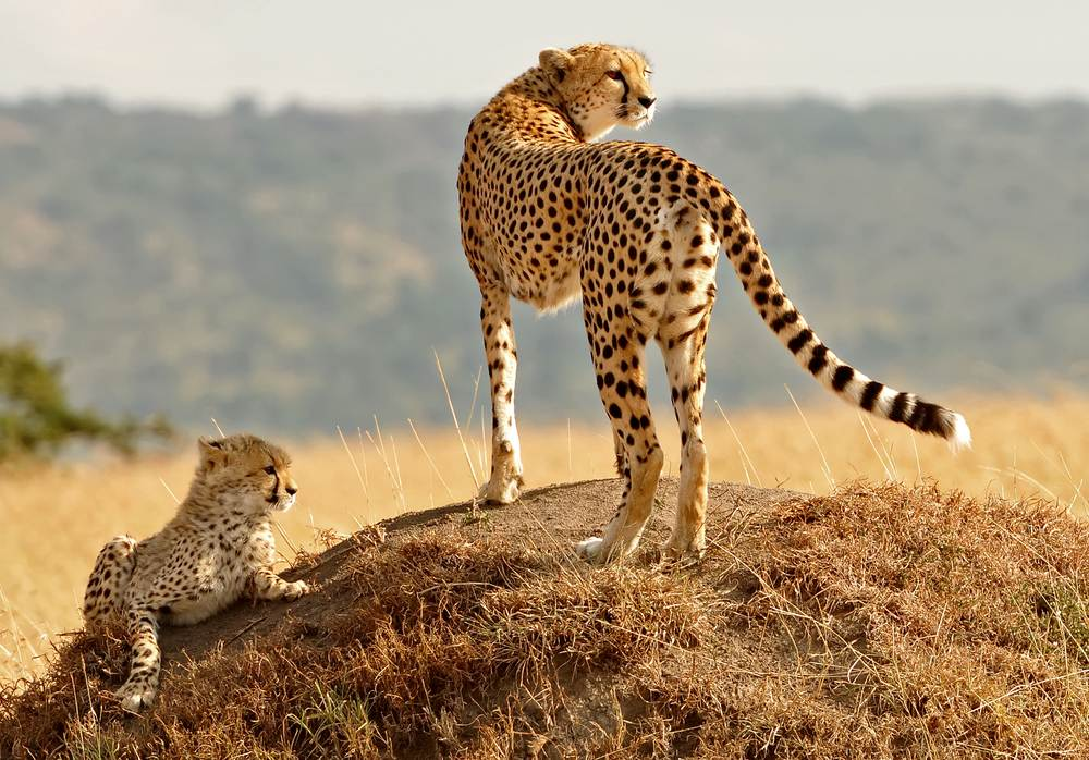 mejor-epoca-viajar-kenia-tanzania-guepardo
