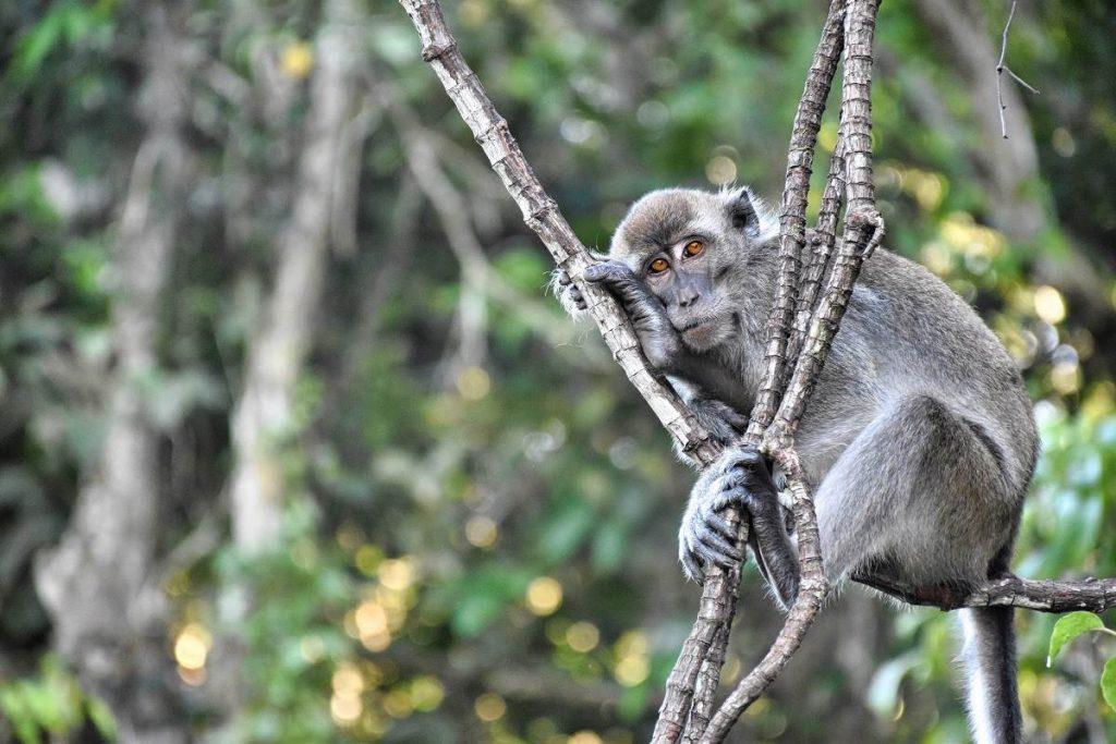 mono en Borneo