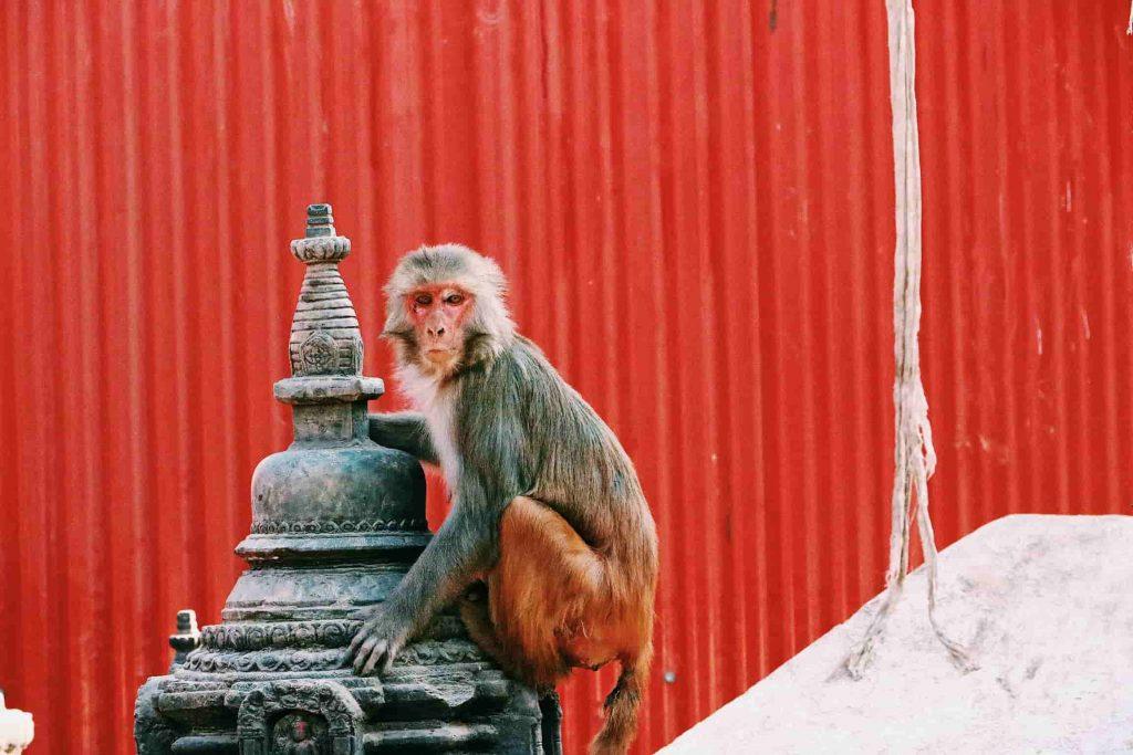 Mono de Nepal