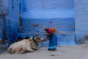 Mujer hindú alimentando vacas con una fachada azul de fondo
