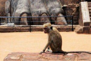 Mono en la fortaleza de la roca del León