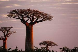 Árboles baobabs durante un atardecer africano