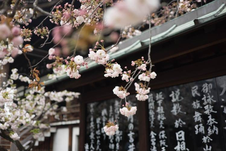 Cerezos en flor en un templo de Kioto