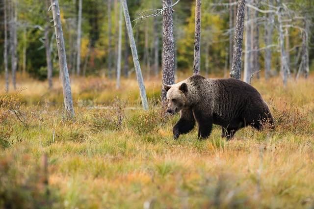 Oso pardo corriendo por el bosque