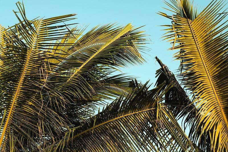 palmeras de jamaica