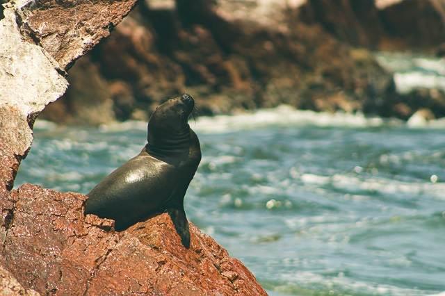 Lobo de mar en Paracas