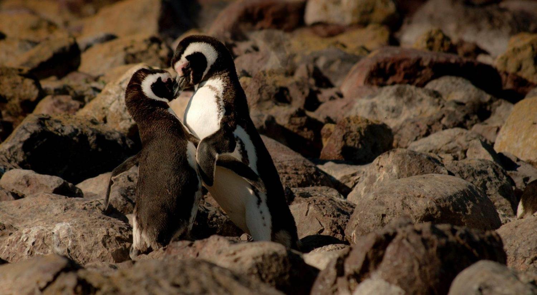 Pareja de pingüinos en Ushuaia al sur de Argentina