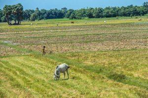 Campo de cultivo de Camboya