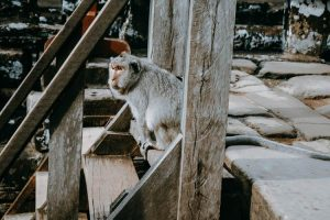 Mono en Camboya