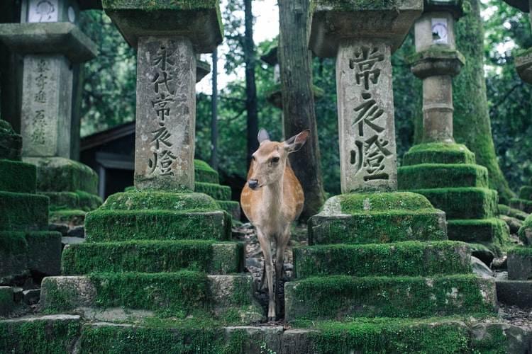 Ciervo en el Parque Nara en Japón