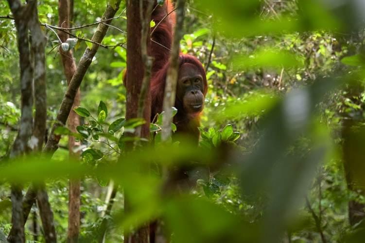 Orangután de Borneo en su hábitat natural