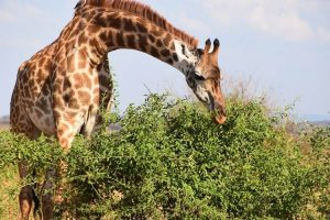 Jirafa en el Serengueti
