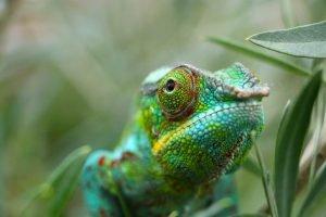 Un camaleón en el Parque Nacional de Zombitse