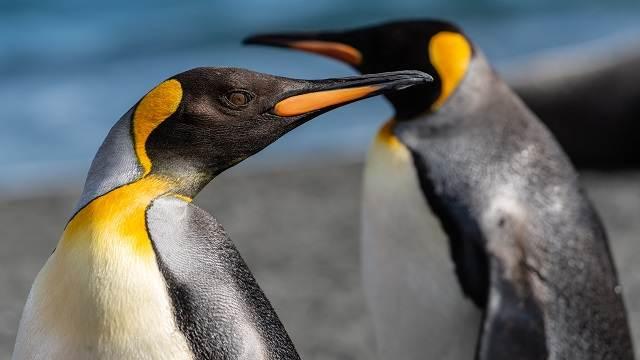 pingüinos amarillos