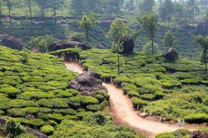 Plantación de té en India