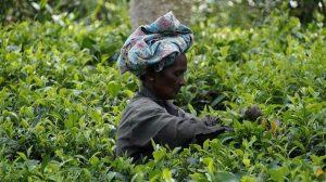 Las plantaciones de te de Sri Lanka