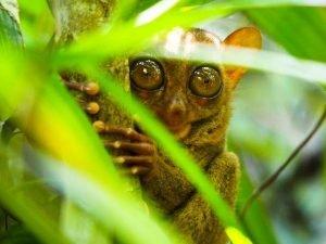 Tarsier, el primate más pequeño del mundo