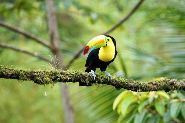 Tucán en Costa Rica