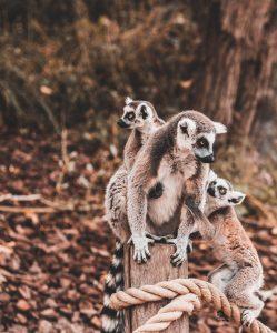 Una familia de lemures en la Reserva de Anja