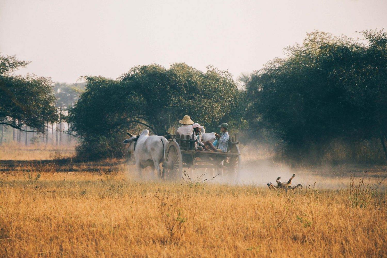 Carro tirado por un buey en un campo de Birmania