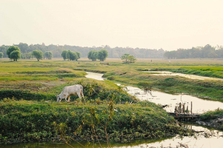 Vaca pastando sobre un campo cultivado en Birmania