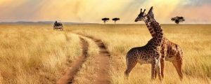 Safari para la luna de miel