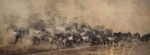 Ñus cruzando un río en Kenia