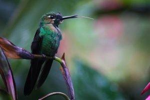 Colibrí posado sobre una flor en la Reserva Biológica de Monteverde
