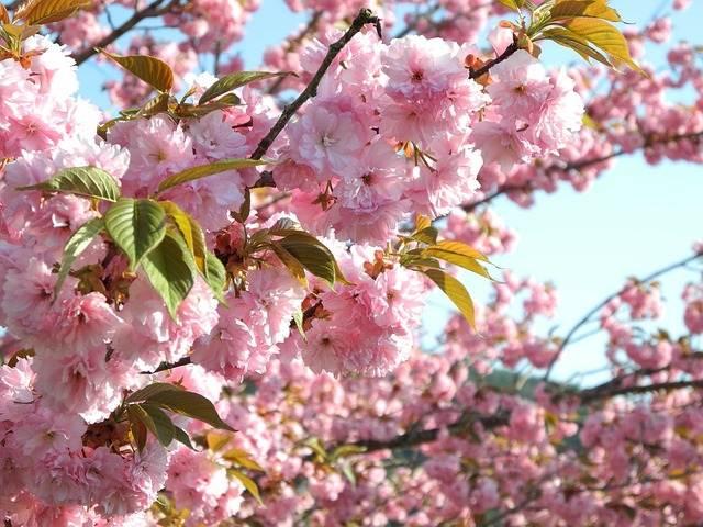 Takayama cerezos en flor