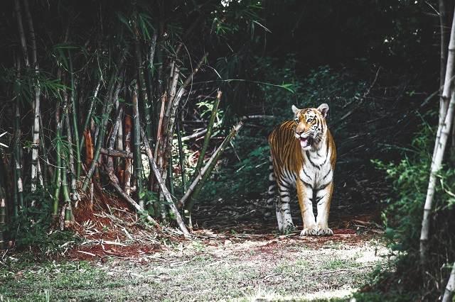 india con niños, tigre de bengala