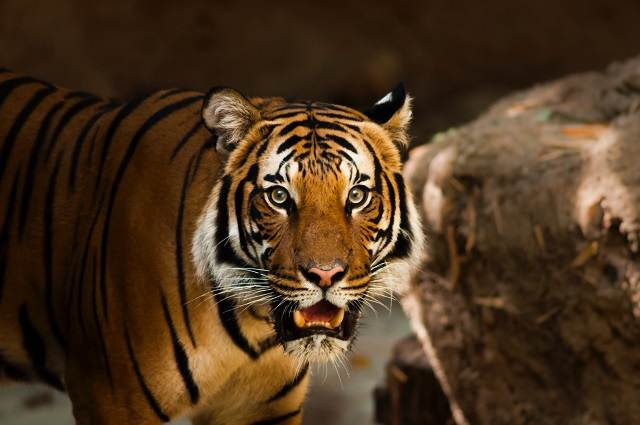 Tigre en el zoo de San Diego