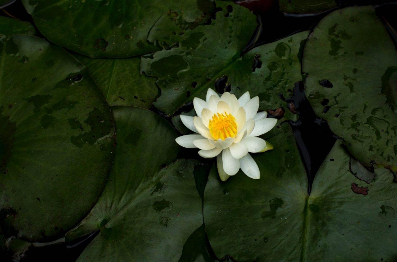 Flor de loto flotando sobre las aguas en Tailandia