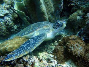 Tortuga marina en Filipinas