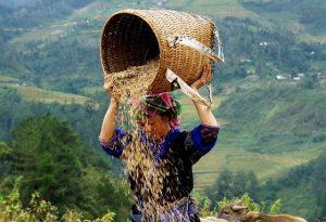 Mujer vietnamita echando de comer al ganado