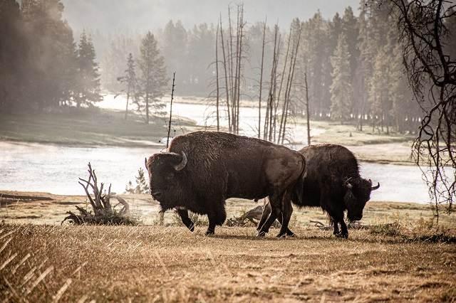 Visontes en Yellowstone